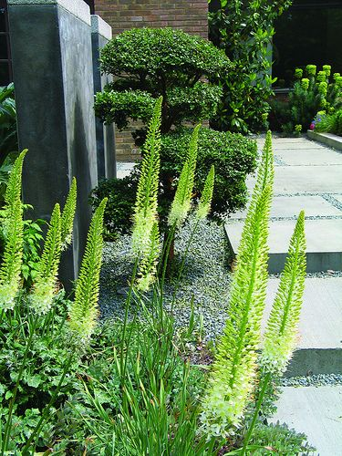 Green foxtail in the garden