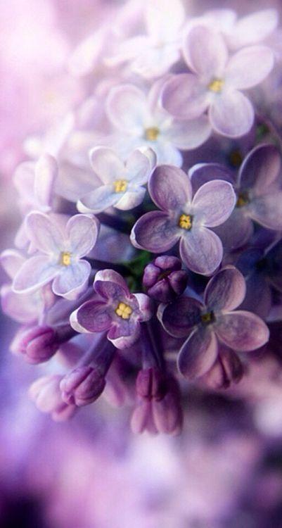 ♔ Françoise, The Marquise ♥ Vivement la floraison du lilas au printemps. Un parfum inégalé.