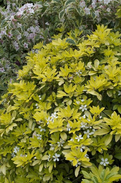 Choisya Sundance.  A useful evergreen shrub with aromatic leaves. If pruned correctly has fragrant star-shaped white flowers in early summer and then sometimes a second flush in early autumn.