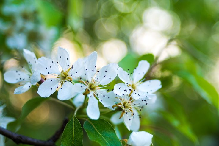 Pear Flowers - Flowers of a blossoming pear tree.