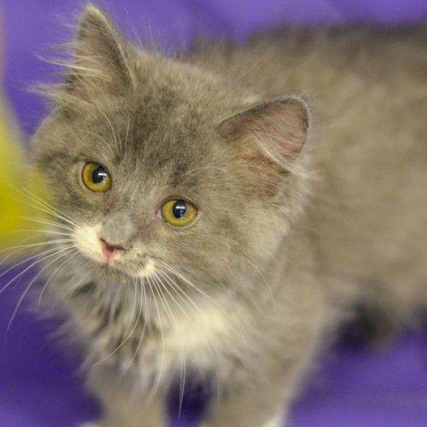 Domestic Long Hair Cat For Adoption In Columbus Ohio Serena In Columbus Ohio Cat Adoption Cats Cat Rescue