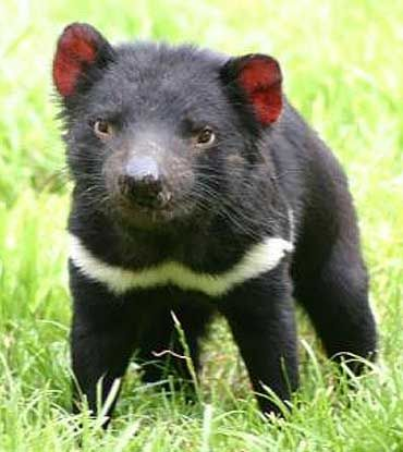 The Tasmanian devil is a carnivorous mammal that is native only to the Australasian island of Tasmania