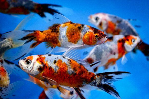 shubunkin | shubunkin goldfish have a sleek streamlined body similar to the body ...