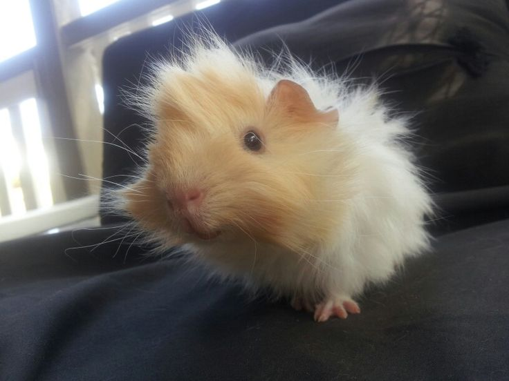 how to take care of a guinea pig baby