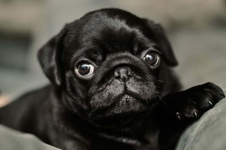 Pug Wallpaper, Screensaver, Background BLACK PUGS