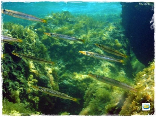 barracuda piccoli ischia snorkeling