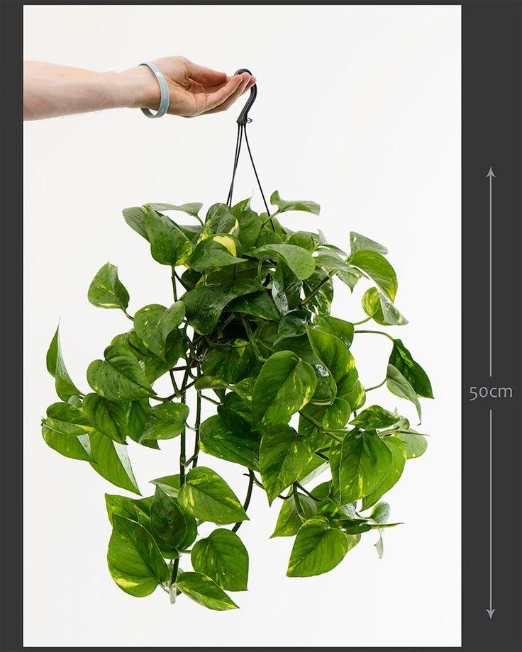 Epipremnum aureum (Scindapsus aureus) Devils Ivy