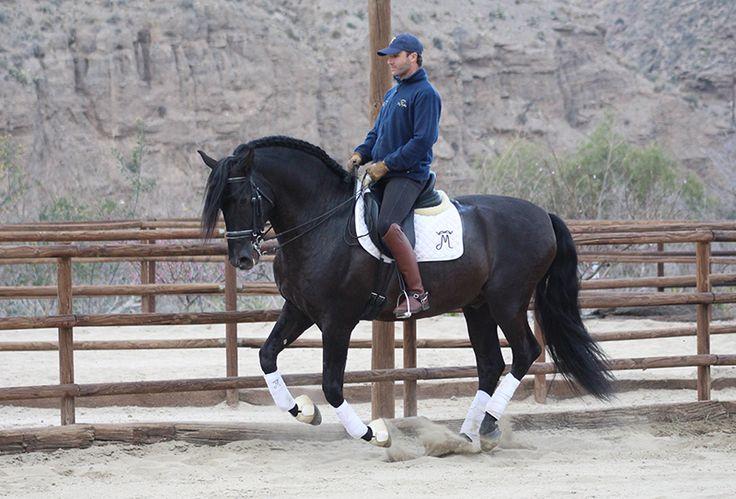 Semental Negro del Hierro de Jose Luis de la Escalera. Medalla de Plata Alcab 2008. Medalla de Bronce Equido 2008. Disponible para monta natural e inseminación.