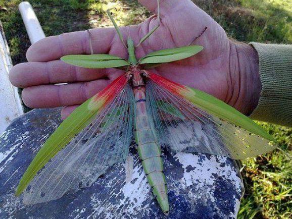 Australian Goliath Stick Insect