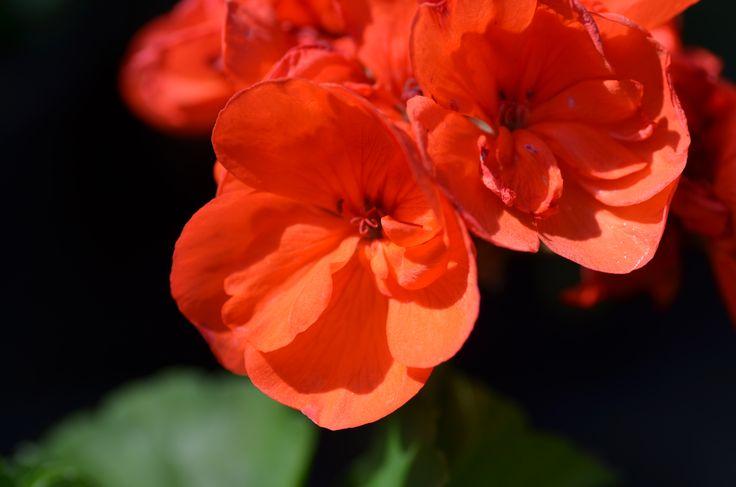 Pelargonium zonale 'Gloria' pelargonie páskatá klasická