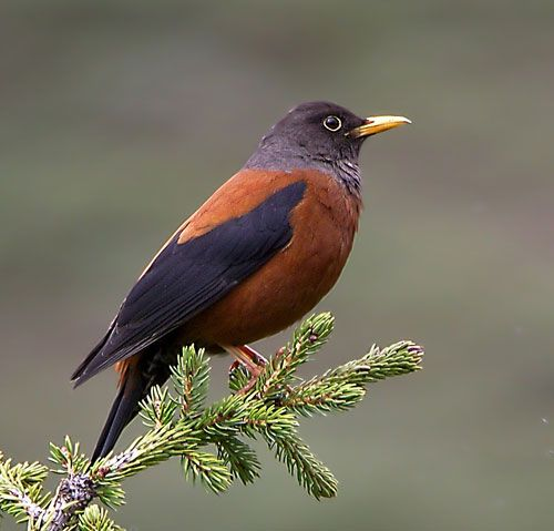 The Chestnut Thrush (Turdus rubrocanus) is a species of bird in the Turdidae family. It is found in the Indian Subcontinent and Southeast Asia, ranging across Afghanistan, Bhutan, India, Laos, Myanmar, Nepal, Pakistan, Thailand and Vietnam.
