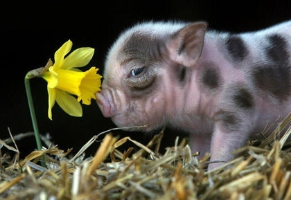 I really just want a pigPiglets, Little Pigs, Minis Pigs, Baby Pigs, Baby Animal, Piggies, Precious Moments, Teacups Pigs, Flower