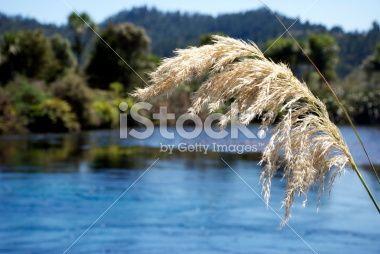 'Toitoi' or 'Toetoe' Grass Royalty Free Stock Photo