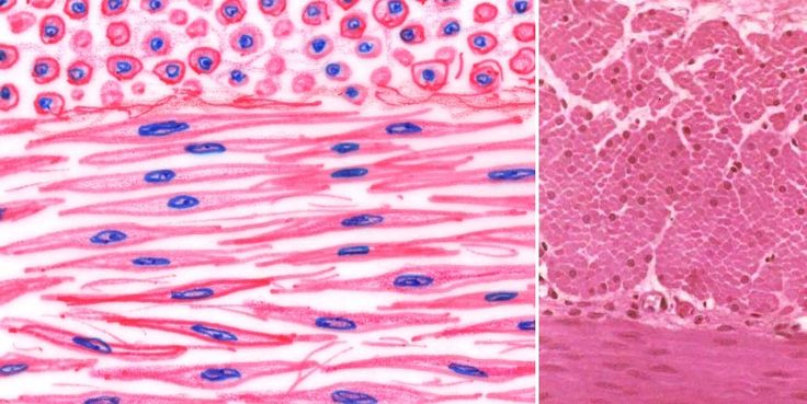 This is an example of a smooth muscle