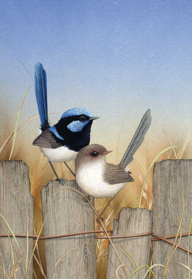 Nice Picture... Nature talked :) Blue Wrens  Lyn Cooke - Artist