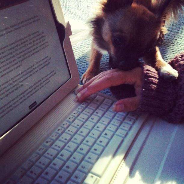 Bonzo the Chihuahua helping me study! #chihuahua