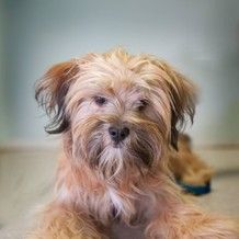 Adopt a Dog   Yorkshire Terrier Yorkie Mix & Terrier   Steph Anie Curry