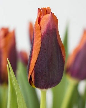 Tulip Muvota - Flower Bulbs   DutchGrown®