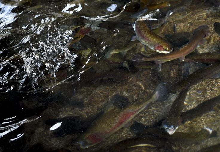 2016-1-20 - Fish hatchery suspected as a source of PCBs in the Spokane River - Photo: Rainbow trout swim in the Spokane Hatchery as a handful of food lands to the left of them on Wednesday. (Tyler Tjomsland / The Spokesman-Review)