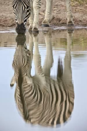 Common Zebra (Plains Zebra) (Burchell's Zebra) (Equus Burchelli) Reflection Photographic Print by James Hager at Art.com