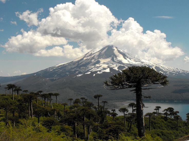 Araucaria araucana, beneath the Sierra Nevada, Parque Nacional Conguillío, Chile: photo by lautaroj,