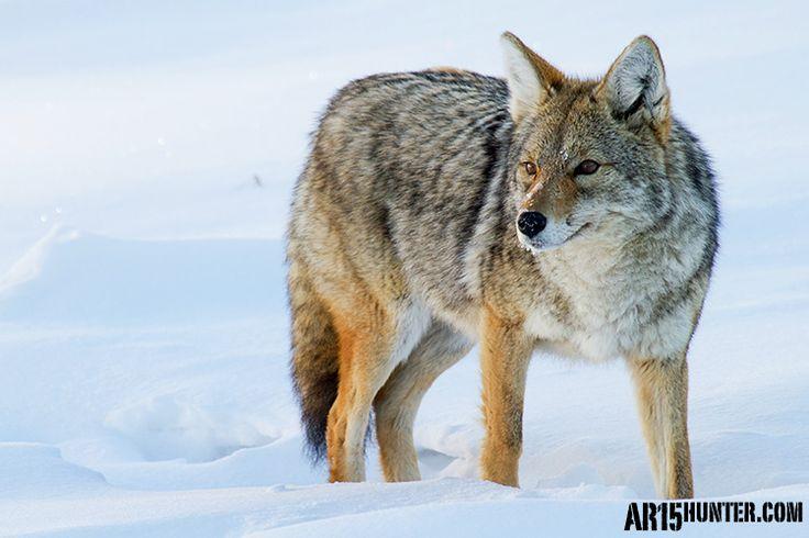 Preparing for predator hunting - the basics.