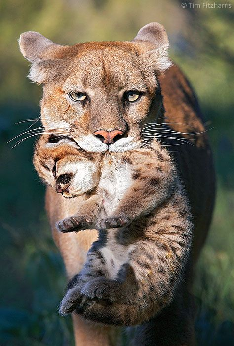 ~~Mountain Lion mother carrying cub in her mouth by Tim Fitzharris~~