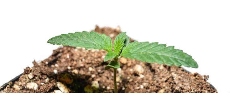 Nace con la idea de aportar a los cultivadores mundiales, grow shop y tiendas de cultivo semillas feminizas de cannabis o marihuana de alta calidad