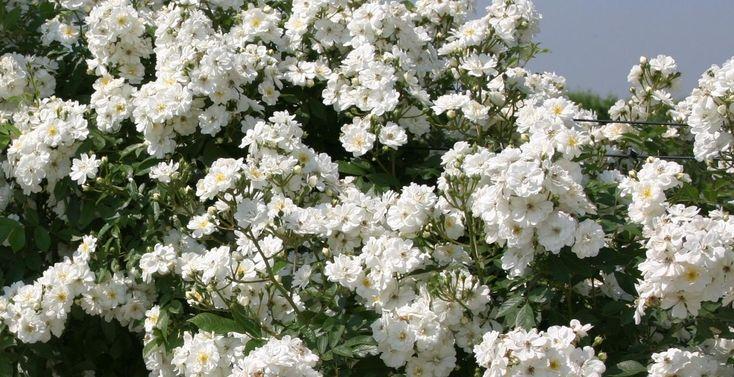 De meest romantische klimplant voor muren en pergola's is de klimroos. Een betrouwbare kleinbloemige witte klimroos is ...