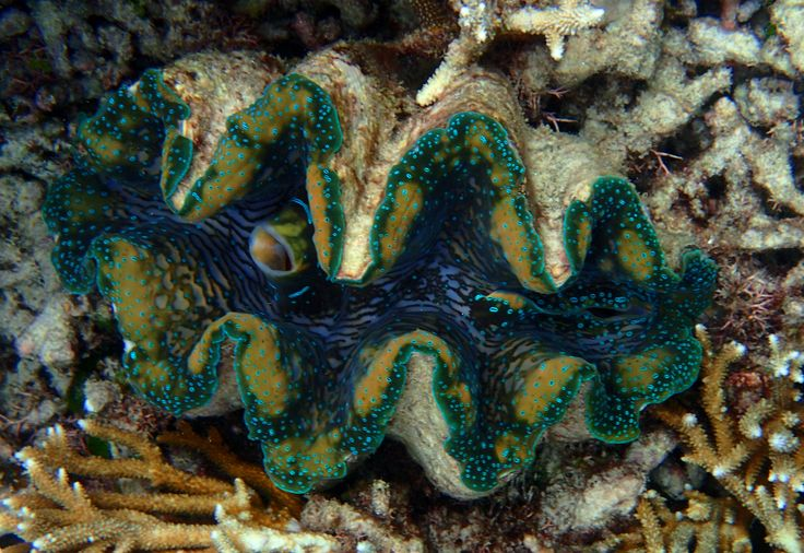 The fleshy mantle and plush zooxanthellae lounge of the Giant Clam. Photo taken at Agincourt Reef, Queensland, Australia by Dr. Helen Taylor. Lobos Marinos International Marine Science.