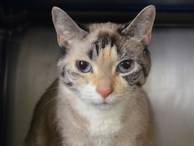 LUNA GIRL - 21175 - - Manhattan  ***TO BE DESTROYED 02/23/18***LOVELY LUNA NEEDS YOU!!! LUNA GIRL is a 12 yr old beauty that was sadly surrendered by her owner due to litterbox issues. LUNA GIRL may possibly have a UTI which would cause some cats to urinate outside the box. Please help LUNA GIRL today. MUST BE RESERVED BY NOON TOMORROW THROUGH A NEW HOPE RESCUE. CONTACT OUR HELP DESK FOR ASSISTANCE. -  Click for info & Current Status: http://nyccats.urgentpodr.org/luna-21