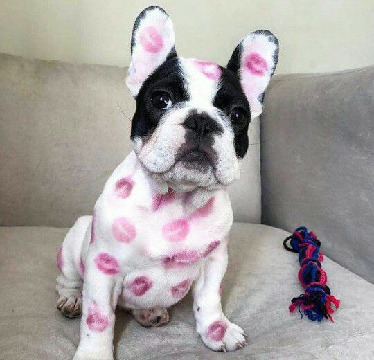 Fotka uživatele Lucie Greplová. French Bulldog covered in Kisses