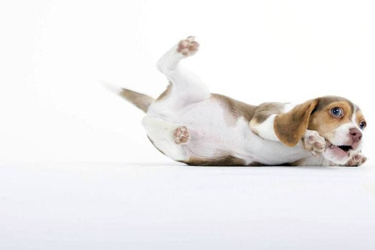 If your Beagle is as mischievous as this one, then it deserves one of the unique Beagle names from here>>> http://www.dog-names-and-more.com/Beagle-Names.html