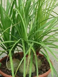 good looking house plant with large green leaves. Unusual HousePlants  A Pony Tail Palm is a succulent plant there are no two exactly alike with large swollen base that may resemble gray elephants 68 best How to Identify HousePlant images on Pinterest