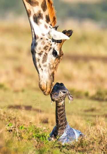 A new-born giraffe calf is licked clean by its mother before successfully taking its first steps in the world after several failed attempts. Beautiful image
