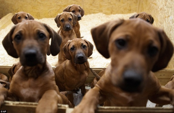 Makes me want another redbone puppy!! Look at all the love in their eyes.