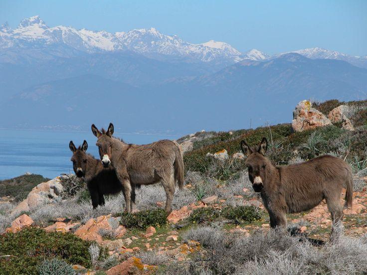 L'âne de Corse : 20 animaux à observer dans leur état naturel en France - Linternaute