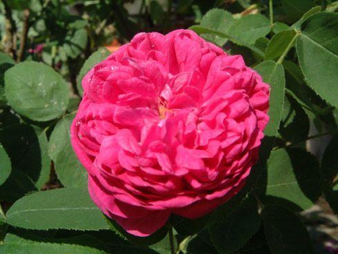 Rose de Resht - Rosa Damascena für Hydrolate - kann im Kübel wachsen