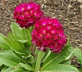 """Primula denticulata """"Ruby"""""""