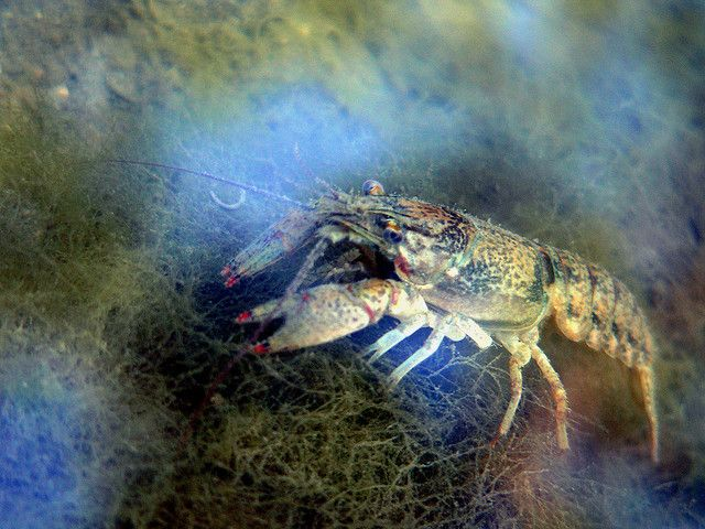 Big trout food - as well as for those pesky smallmouth bass!  Creeping Crustacean by Kevin's Kaptures, via Flickr
