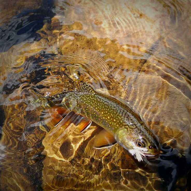 17 best images about brook trout on pinterest virginia for Fly fishing virginia