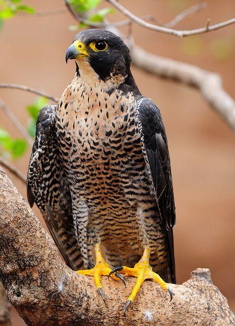 Peregrine Falcon (Falco peregrinus) by Ian n. White, via Flickr
