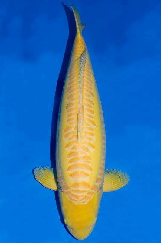 Doitsu karashigoi 81cm konishi koi farm pinteres for Japanese carp fish