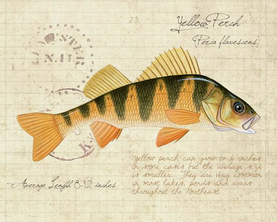1000 ideas about limited edition prints on pinterest for Yellow perch fishing secrets