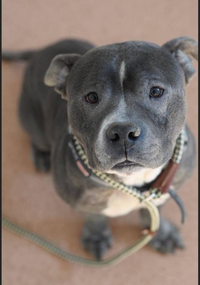 Adopt Luca On Pitbull Terrier Pitbulls Terrier
