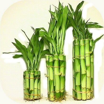 """""""Lucky Bamboo"""".... proper name Dracaena ... These are not even related to Bamboo but wonderful and easy to grow in water or as potted plants."""