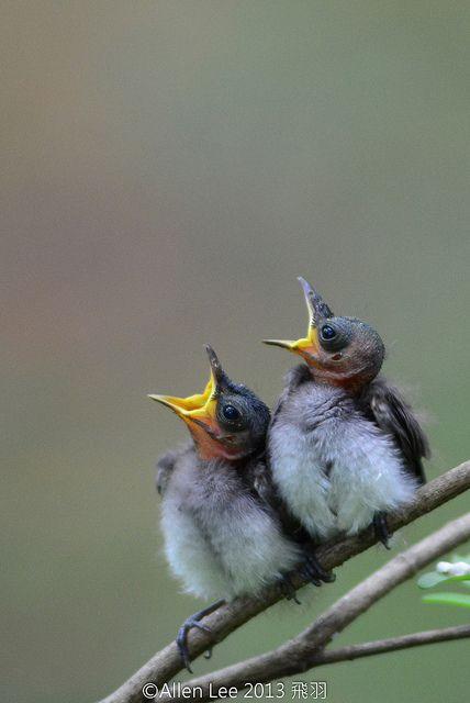 Juvenile Black-naped Monarch chicks by Allen Lee(houpc), via Flickr