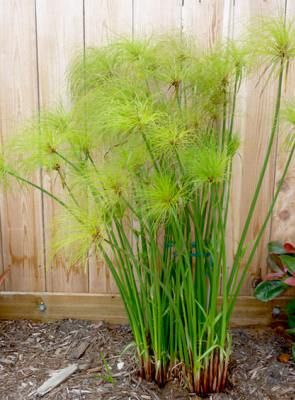 Egyptian Paper Reed - Cyperus Papyrus                                                                                                                                                     More