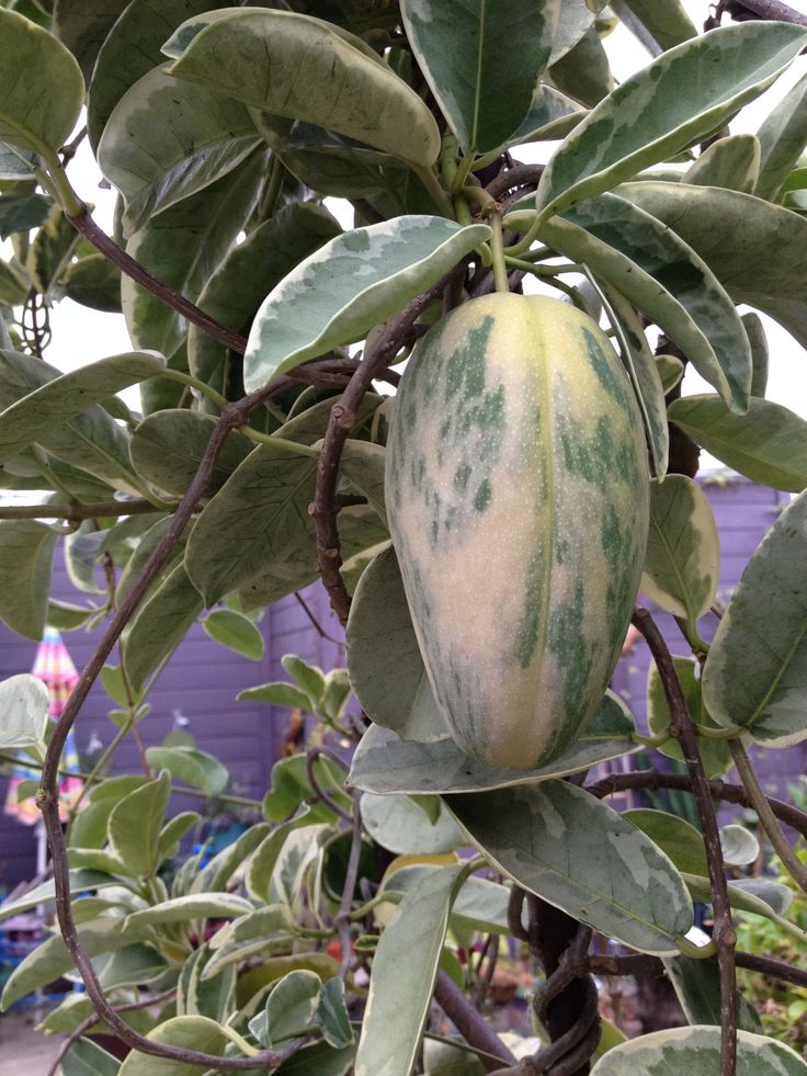 Seed Pod from Variegated Star Jasmine | Cacti & Succulents ...