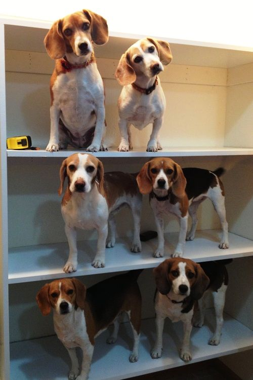 Crazy cat lady organizer.... BUT BEAGLE EDITION!!! I need this, all the beagles!! They're so cute!!